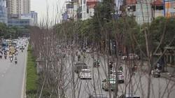 ẢNH: Hàng cây phong héo khô, lãnh đạo công ty cây xanh nói gì?