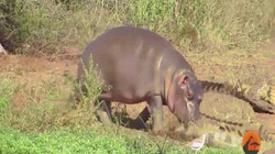 Video: Hà mã con hết đánh đuổi cá sấu rồi lại gây sự với trâu rừng