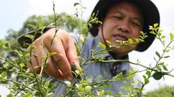 Ông Đào Duy Anh trồng chanh lạ, hạt lổn nhổn 24 màu, bán 3 triệu/ký