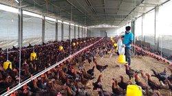Kỹ sư thú y về quê nuôi gà, cứ bán 1.000 con lời 30 triệu