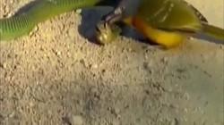 Video: Đụng độ với chim, rắn kịch độc châu Phi bị hành hạ thảm thương