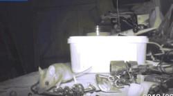 Chú chuột trong cổ tích bước ra đời thực, dọn dẹp đồ đạc cho cụ ông suốt đêm