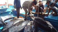 Vụ cá Bắc mỹ mãn: Đi 15 ngày trúng đậm mẻ lưới 300 con cá ngừ to bự