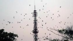 """Kiên Giang cấm nuôi chim trời """"tiền tỷ"""" ở địa phương trọng yếu"""