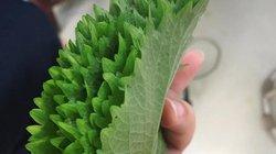Cứ đếm lá lấy tiền từ loài rau thơm mọc nhan nhản ở Việt Nam