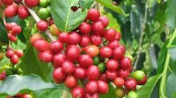 Giá cà phê Tây Nguyên giảm sâu chưa từng thấy, giá tiêu lặng sóng
