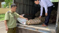 Lạng Sơn: Bắt xe chở lợn giống chưa kiểm dịch đang mang đi bán