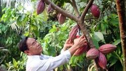 Lạ mà hay: Trồng ca cao xen dừa, đất không thừa mà ra toàn trái bự
