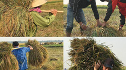 Nắng như thiêu đốt, thầy trò giục nhau ra đồng gặt lúa đổ giúp bạn
