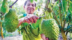Bán 1 quả mít thu nửa triệu bạc, nhà nông Kiên Giang phá vườn tạp