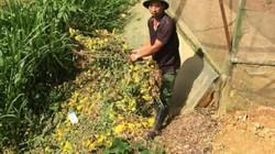 Nhà vườn Lâm Đồng chua xót nhổ bỏ hoa cúc vì virus hoành hành