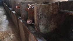 Kiếm hơn 300 triệu mỗi năm nhờ nuôi bò, ai nói làm nông khó giàu?