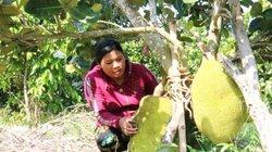 Đất cằn trồng mít Thái, có cây cho 1 tạ trái, bán 7 ngàn/ký vẫn lời