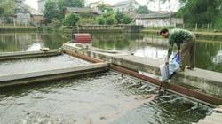 Làm sông trong ao, nuôi cá dày đặc, nông dân thu lời lớn