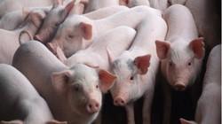 """Giá heo hơi 2/5: Dân Tây Nguyên sắp có heo giống """"xịn"""", giá lợn hơi ổn định"""
