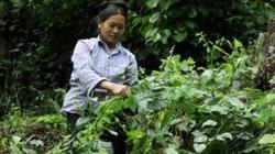 Loài rau dại giâm ở núi đá sau nhà, tốt vù vù, bán 100 ngàn/kg