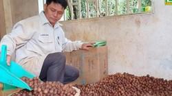Đắk Nông: Hạt mắc ca giá cao chưa từng thấy, 110 ngàn/ký