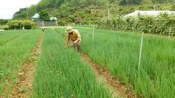 Ở nơi này đất ít, bỏ ngô trồng rau, hóa ra tiền về gấp cả chục lần