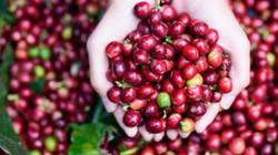 Giá cà phê Tây Nguyên thấp kỉ lục, giá tiêu đứng yên, nông dân bế tắc