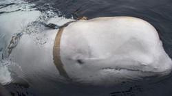 """""""Điệp viên cá voi trắng"""" của Nga không chịu rời cảng Na Uy"""