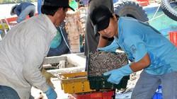 Cà Mau: Kỳ công đánh bắt, hong phơi cá bé tí bán sang Tây