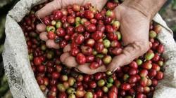 """Giá cà phê Tây Nguyên: """"Bốc hơi"""" thêm 300 đồng/kg phiên cuối tuần"""