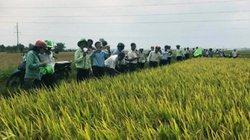 Khánh Hòa: Lúa TBR225 dễ trồng, đạt 76 tạ/ha, nông dân thích mê
