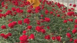 Không có tiền học đại học, chàng trai trẻ ở nhà trồng hoa hồng mà kiếm tiền tỷ mỗi năm