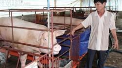 Sau Trảng Bom, Đồng Nai công bố dịch tả lợn châu Phi tại Nhơn Trạch
