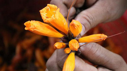 Đặc sản Đoọc Pít từ hoa của người dân vùng cao ăn cực nghiền