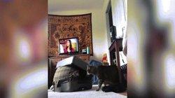 """Chui ra từ vali, cô gái bị mèo tấn công điên cuồng như """"nhìn thấy ma"""""""