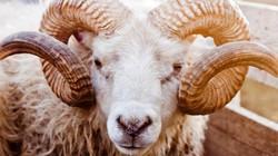 Pháp: 15 con cừu được nhận vào lớp học chung với người