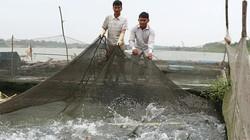 Nuôi cá đặc sản dày đặc trong lồng, bán 250-600 ngàn đồng/kg