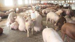 Giá heo hơi 12/5: Miền Nam đồng loạt giảm, giá lợn hơi miền Bắc ổn định