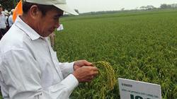 Thử nghiệm 3 giống lúa mới ở Phú Thọ: Nhà nông háo hức chờ ngày gặt