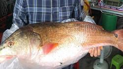 Người dân câu được hai con cá lạ nghi cá sủ vàng quý hiếm