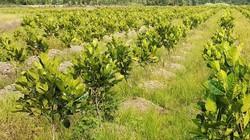 """Giá mít Thái """"sốt hầm hập"""", dân ồ ạt cho cây giống """"lội"""" ruộng, cản trở xã lũ"""
