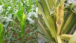 Lạng Sơn: Lần đầu tiên sâu keo mùa thu phá hoại gần 700ha ngô