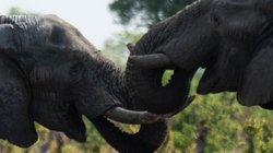 Zimbabwe kiếm bộn tiền từ bán voi cho Trung Quốc, Dubai