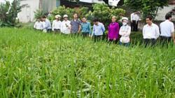 Hà Nam: 2 giống lúa thuần được nông dân đánh giá cao nhiều mặt