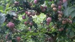 Loại quả ở quê rụng đầy gốc không ai thèm nhặt, lên thành phố thành đặc sản đắt đỏ