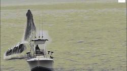 Mỹ: Cá voi khổng lồ vọt khỏi mặt nước, thuyền câu cá bỗng bé tẻo teo