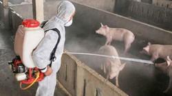 Dịch tả lợn châu Phi: Các trang trại lớn kêu cứu vì bị cấm vận chuyển