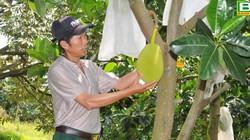 Ủ cá thành phân bón cho mít Thái, bán 50 tấn trái/năm, thu tiền tỷ