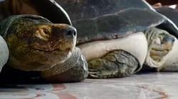 """Cụ rùa Đồng Tháp 100 tuổi thích ngủ mùng, ăn chay và """"ghiền"""" kinh phật"""