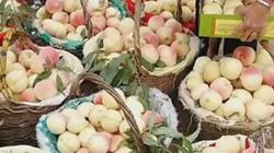 """9X trồng quả """"trứng ngỗng"""" kiếm trăm triệu mỗi năm"""