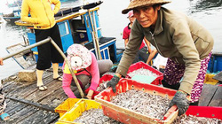 Quảng Nam: Chong đèn lưới bắt cá cơm, 1 tối kiếm 100 triệu đồng