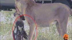 Bị sư tử ngoạm chặt, chó hoang dùng chiêu qua mặt, chạy thoát trong gang tấc