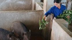 Ở đây nuôi loài lợn rừng sọc lửa, có con nào lái khênh đi con đó