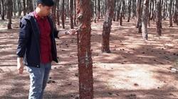 """Chùm ảnh: Xót xa hàng ngàn cây thông bị cạo sạch vỏ, rỉ """"máu"""""""